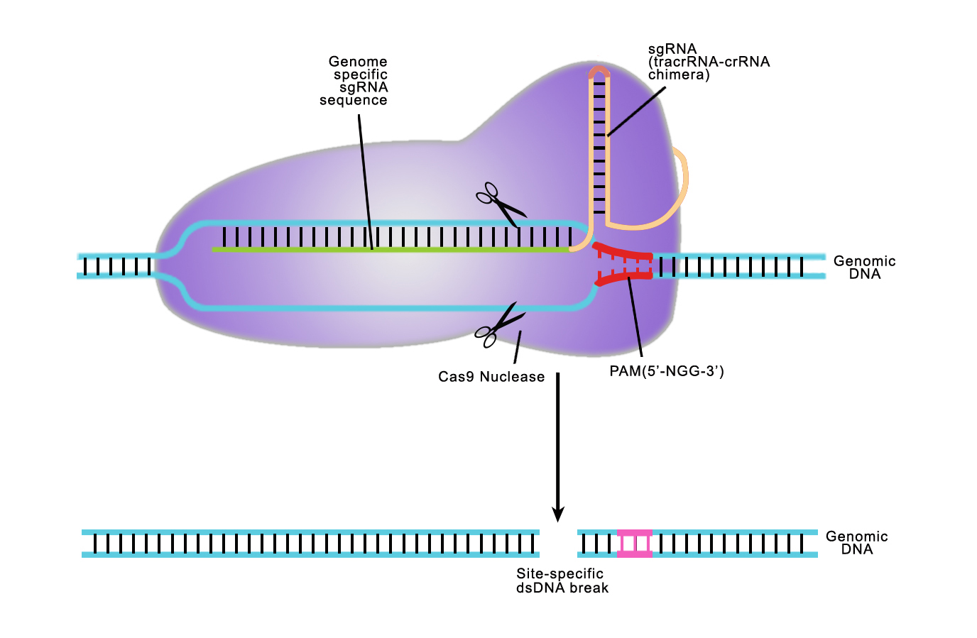 CRISPR/Cas 9 Genome editing and Engineering