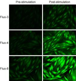 Intracellular calcium measurement: Fluo-8 dye compared with Fluo-3 and Fluo-4 dyes