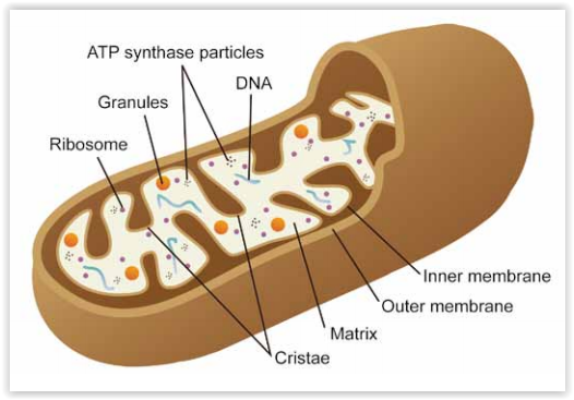 Schematic representation of a mitochondria. Source Abnova Mitochondrial research tools by tebu-bio