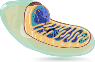 Mitochondria and mitochondrial research
