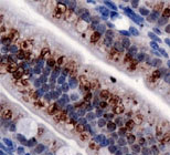 Immunohistochemical staining of TRPA1 on mouse intestine with TRPA1 polyclonal antibody (Cat. nr 157PAB11992)