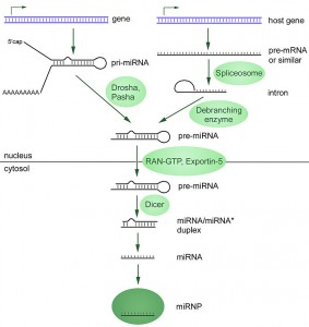 "Source: ""MiRNA-biogenesis"" by Narayanese at English Wikipedia. Licensed under CC BY-SA 3.0 via Commons - https://commons.wikimedia.org/wiki/File:MiRNA-biogenesis.jpg#/media/File:MiRNA-biogenesis.jpg"