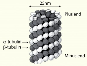 Tubulin: Structure and polarity of microtubules
