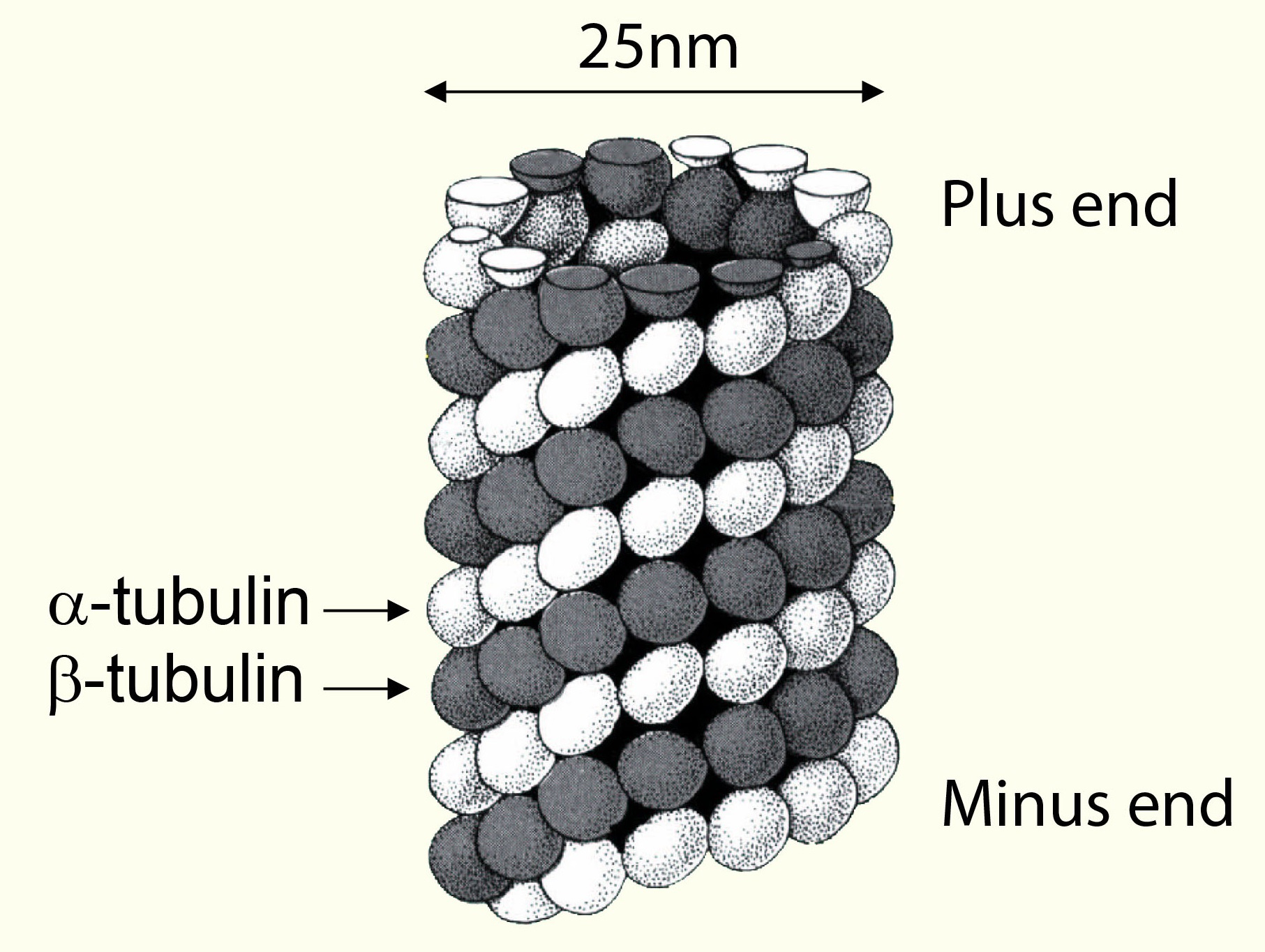 Tubulin / Microtubules: Structure and polarity of microtubules
