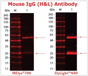 Mouse IgG (H&L) Antibody DyLight™680 high fluorescence intensity and photostability vs. IRDye®700 (DyLight™ will be your routine fluorescent dye - Being Bio-reactive)