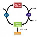 Small G-protein activation cycle - Small GTPases