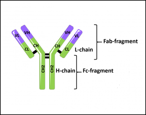 Schematic representation of antibody chains. tebu-bio