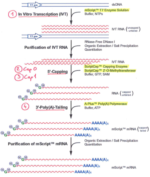 mScript mRNA production system.