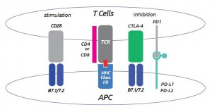 T cell - APC effects