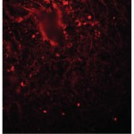 IF staining of nuclear and cytoplasmic Lin 28 in Human spleen tissue cat. nr 600-401-CK9- Rockland tebu-bio