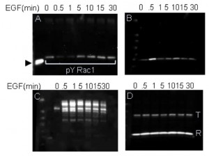 Typical results obtained with the Signal Seeker assay to study Tyrosine phosphorylation results