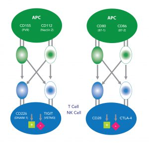 TIGIT (VSTM3)/CD226 and CD28/CTLA-4 Pathway - Being bioreactive