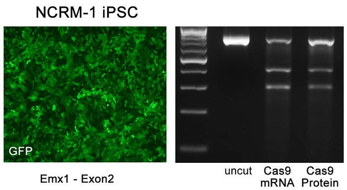 Fig. 3 Indel analysis following transfection with EditPro Stem Transfection Reagent. Cells were transfected with Cas9 mRNA (modified)/ gRNA: Emx-1 crRNA (Exon2)-tracrRNA oligo/ GFP mRNA (modified) or Cas9 protein/gRNA: Emx-1 crRNA (Exon2)-tracrRNA oligo/ GFP mRNA (modified). Genome-modification was analyzed using the T7Endo 1 assay. Photo credit: MTI-Globalstem