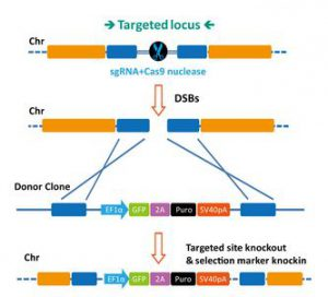 CRISPR Cas9 - Cell line engineering for Stem Cell Research
