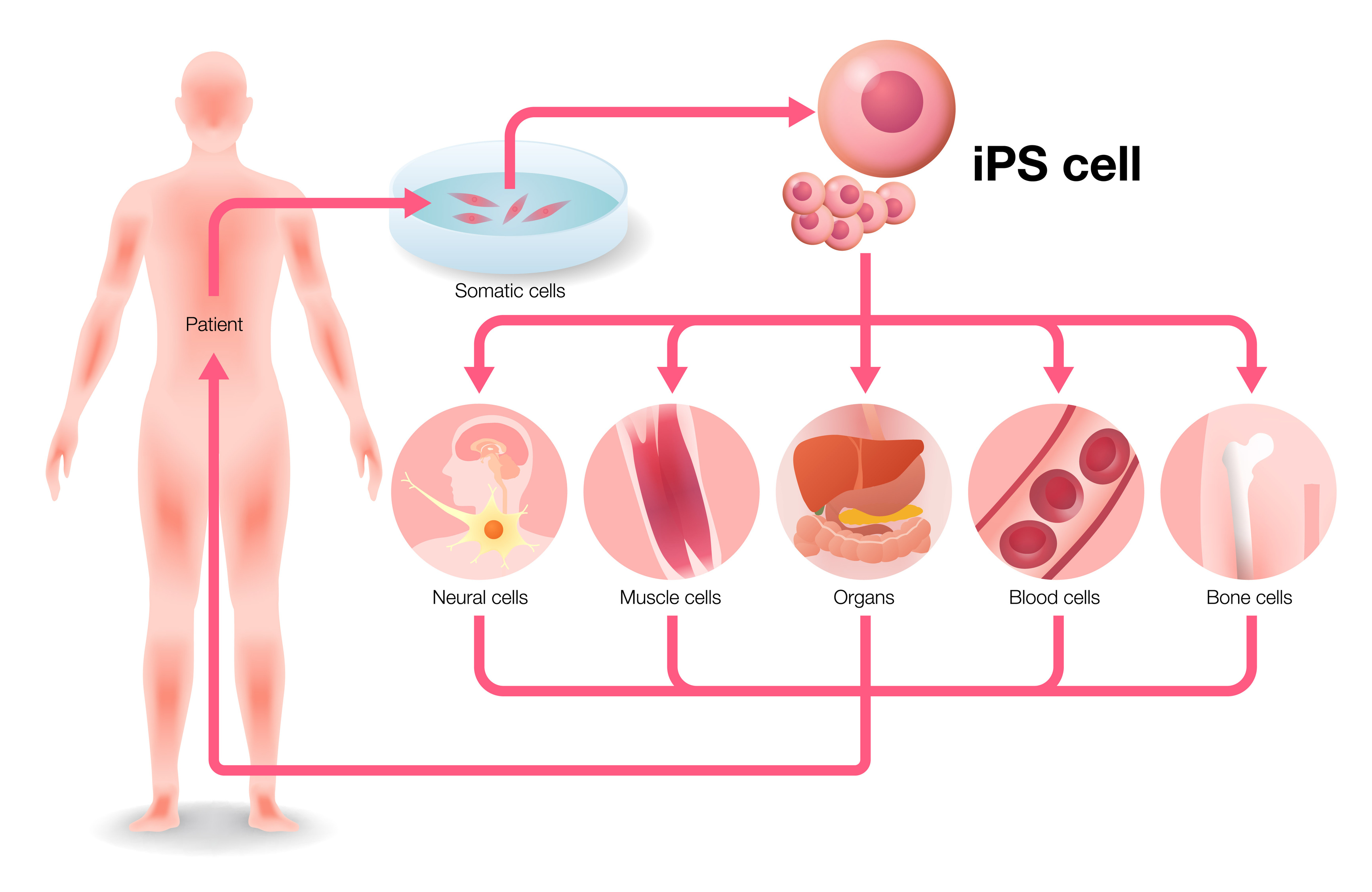 Induced pluripotent stem cells (iPSC) - tebu-bio