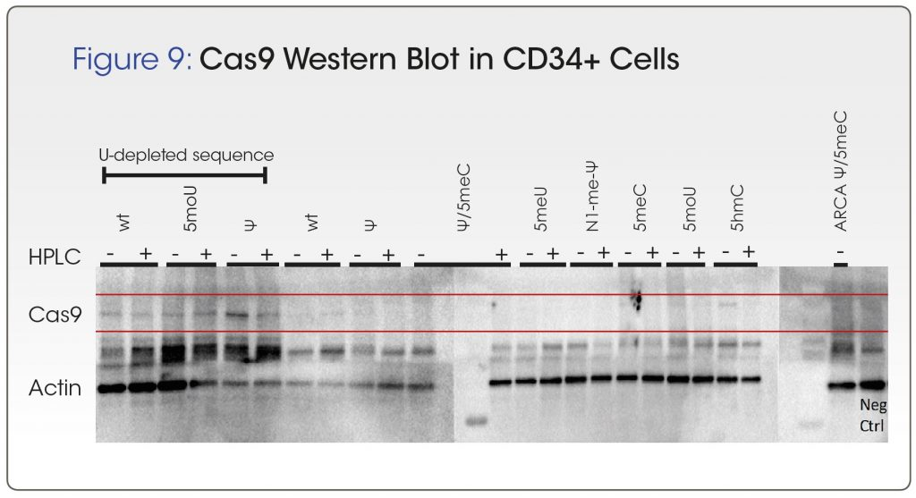 """Cas9 Western Blot in CD34+ cells - Trilink poster """"""""Maximizing Translation of Cas9 mRNA Therapeutics by Sequence Engineering and Chemical Modification"""""""""""
