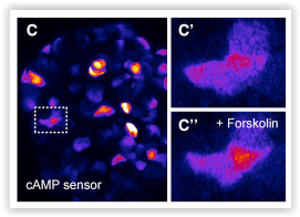 Montana Molecular cAMP green fluorescent sensor shows an increase of cAMP in human islets by Almaça et al. Cell 2016 DOI: http://dx.doi.org/10.1016/j.celrep.2016.11.072