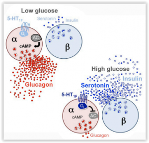 5-HT inhibits Glucagon secretion via 5-HT1F Rc and decreases intracellular cAMP by Almaça et al. DOI: http://dx.doi.org/10.1016/j.celrep.2016.11.072
