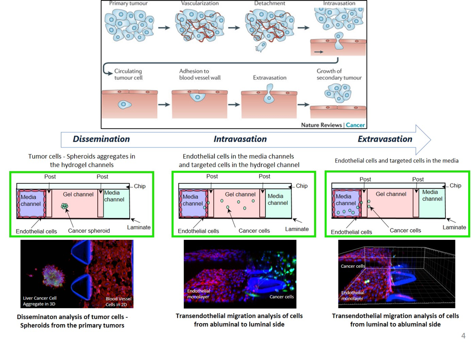 3D Cell culture - AIM Biotech Dissemination Intravasation and Extravasation of cells in hydrogel
