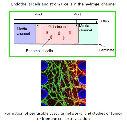 3D Cell culture - AIM Biotech Endothelial cells and stromal cell in hydrogel