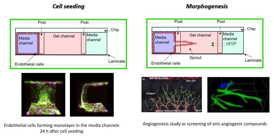 3D cell culture - AIM Biotech Endothelial cells seeding and Morphogenesis