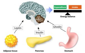 Adipose Tissue, obesity and diabetes - Control of food intake, Leptin, Insulin and Ghrelin