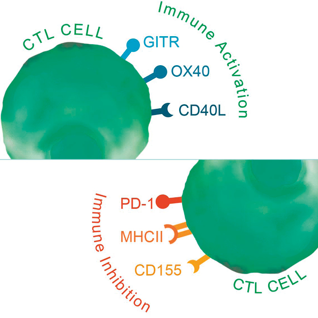 New Reporter cell lines for Drug discovery and Immunotherapy