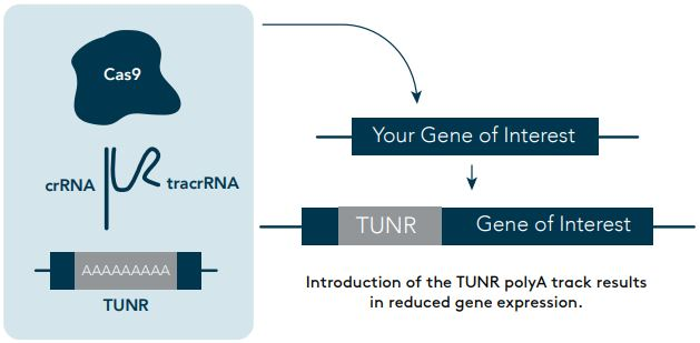 Gene Editing - Insertion of the TUNR sequence into the target gene to fine-tune its level of expression