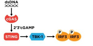 cGAMP cell signalling