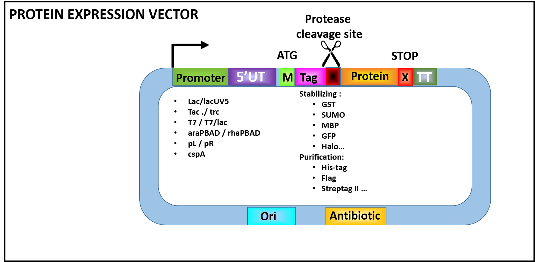 Fig 1. : Basic expression vectors for protein expression in E. coli of cytoplasmic proteins.