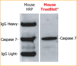 TrueBlot Mouse IP Western Blot Comparison