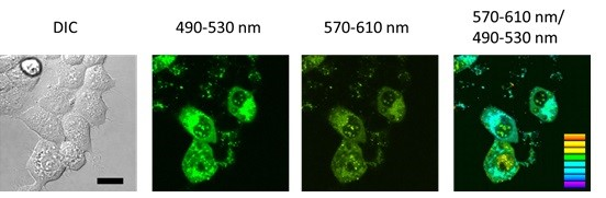 Fluorescence Thermometer in living HEK293 cells. Cellular Thermoprobe for Fluorescence (from left to right): Confocal fluorescence image, fluorescence image at 490-530 nm, 570-610 nm and merged data. Bar: 20μm. tebu-bio