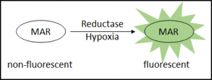 MAR for detection of Hypoxia (reductase)