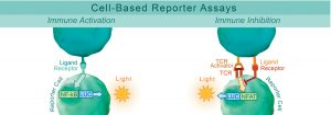 Immune Activation and Inhibition - Cell based reporter assays by BPS