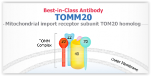 Best-in class antibodies for mitochondrial protein immunoblot tebu-bio abnova