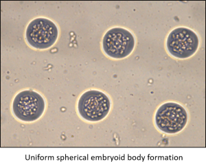 Uniform spherical embryoid body formation - Microsurfaces microEB array at tebu-bio.com