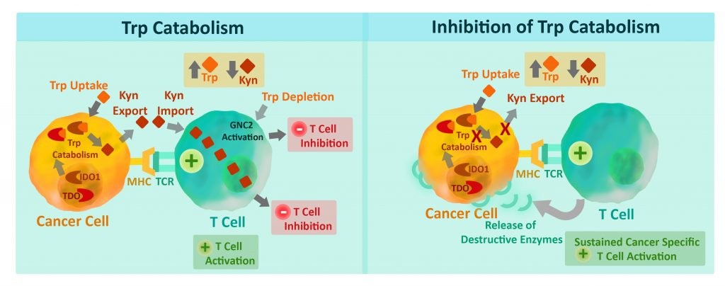 Immune checkpoint research - IDO1 and TDO enzyme catalyze the conversion of Trp to Kyn.