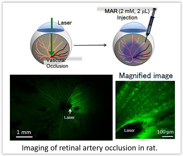 imaging-of-retinal-artery-occlusion-in-rat