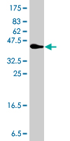 Western Blot detection against Immunogen (35.9 KDa) .
