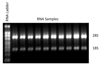 RNA Gel Results showing 28S:18S ratios.   Image kindly provided by tebu-bio's laboratory, RNA extraction and Genomic Profiling Service division.